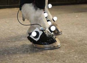 A horse's front hooves with motion tracking sensors attached